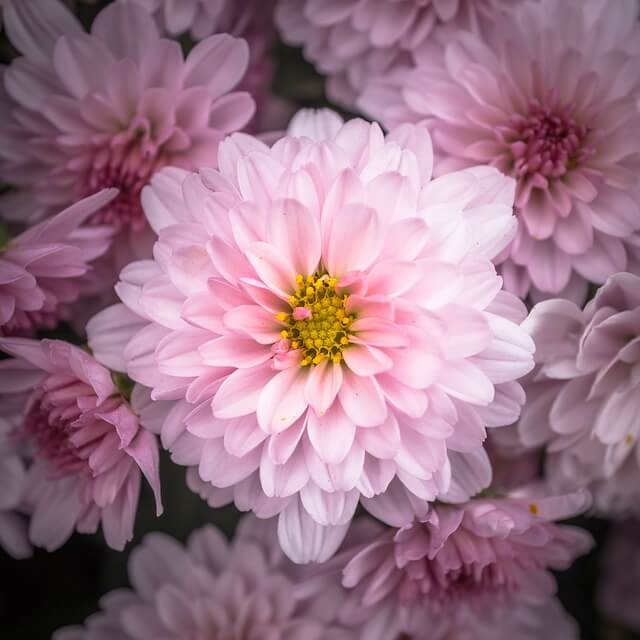 Хризантемы садовые