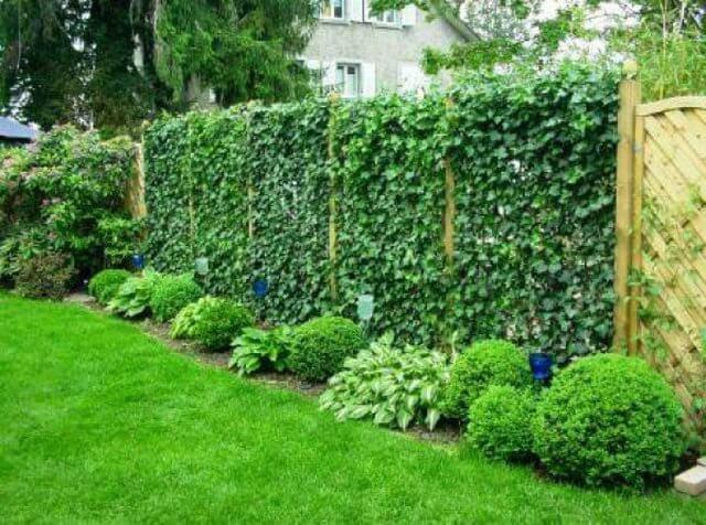 Живая изгородь на садовом участке
